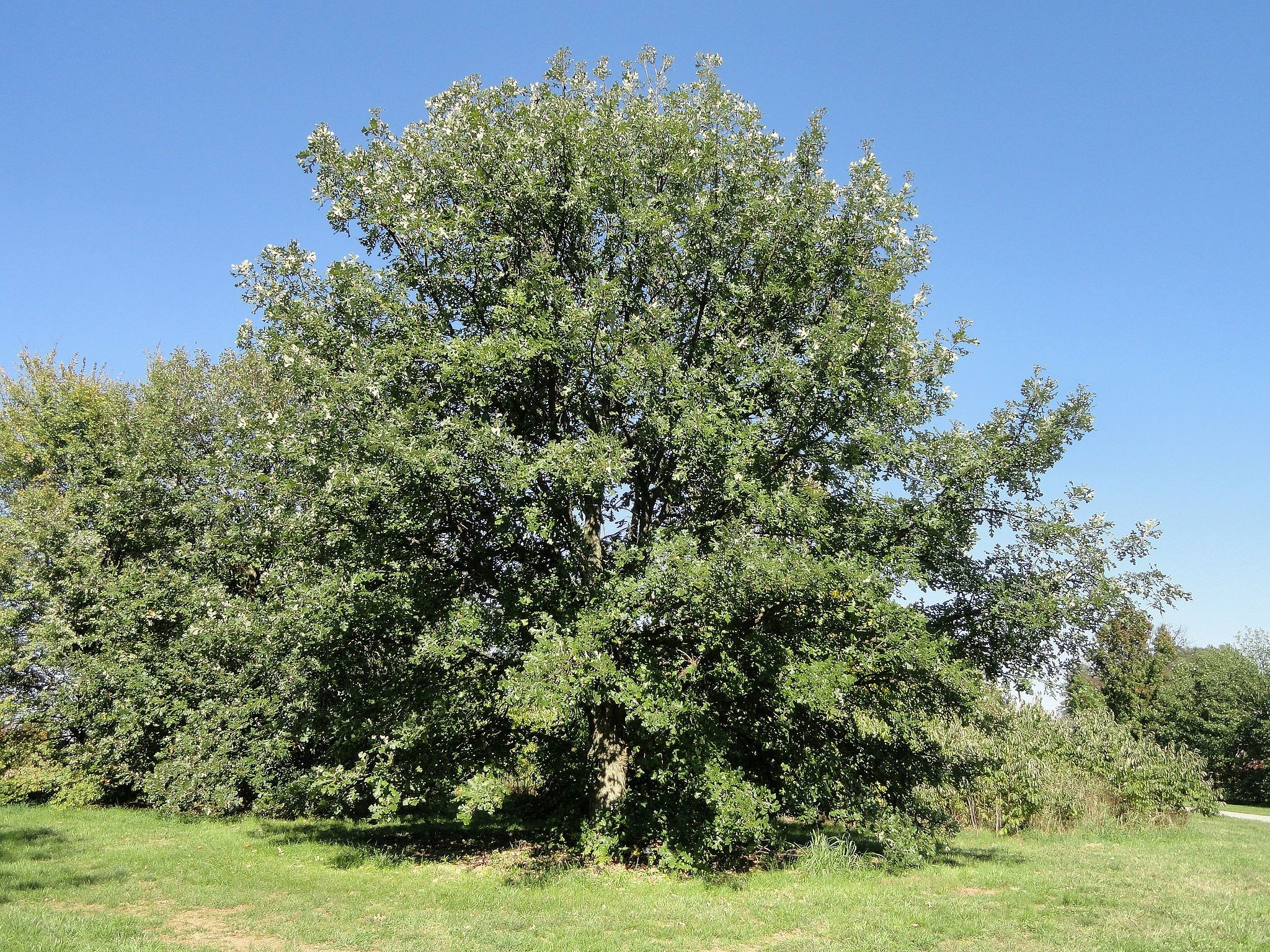 Oak, Bur - TheTreeFarm.com