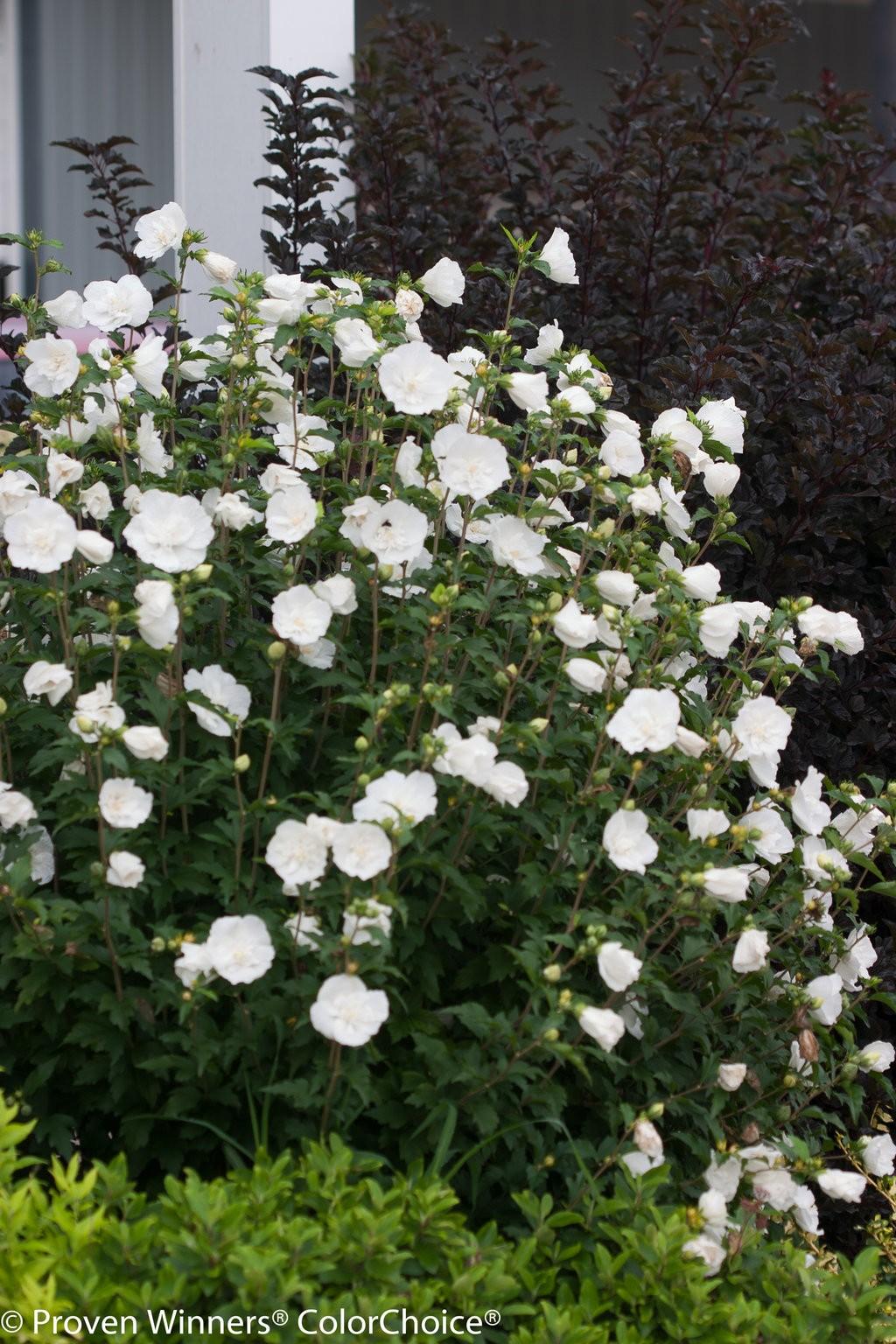 Rose Of Sharon White Chiffon Althea Thetreefarm Com