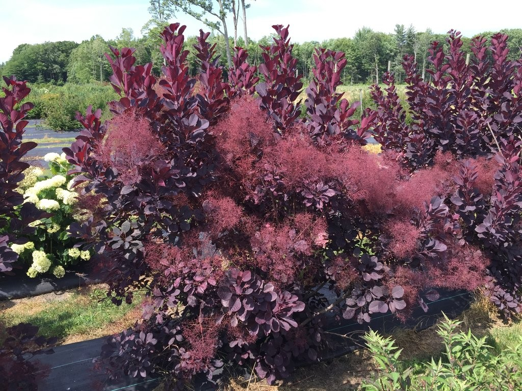 Smokebush Winecraft Black Thetreefarm
