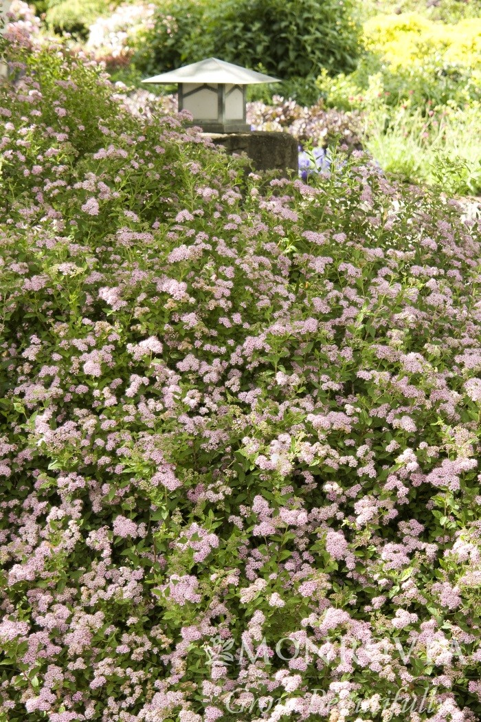 Spirea Little Princess Thetreefarm Com