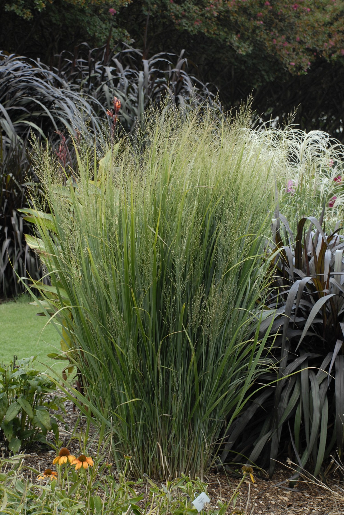 Switch grass northwind for Tall thin ornamental grasses