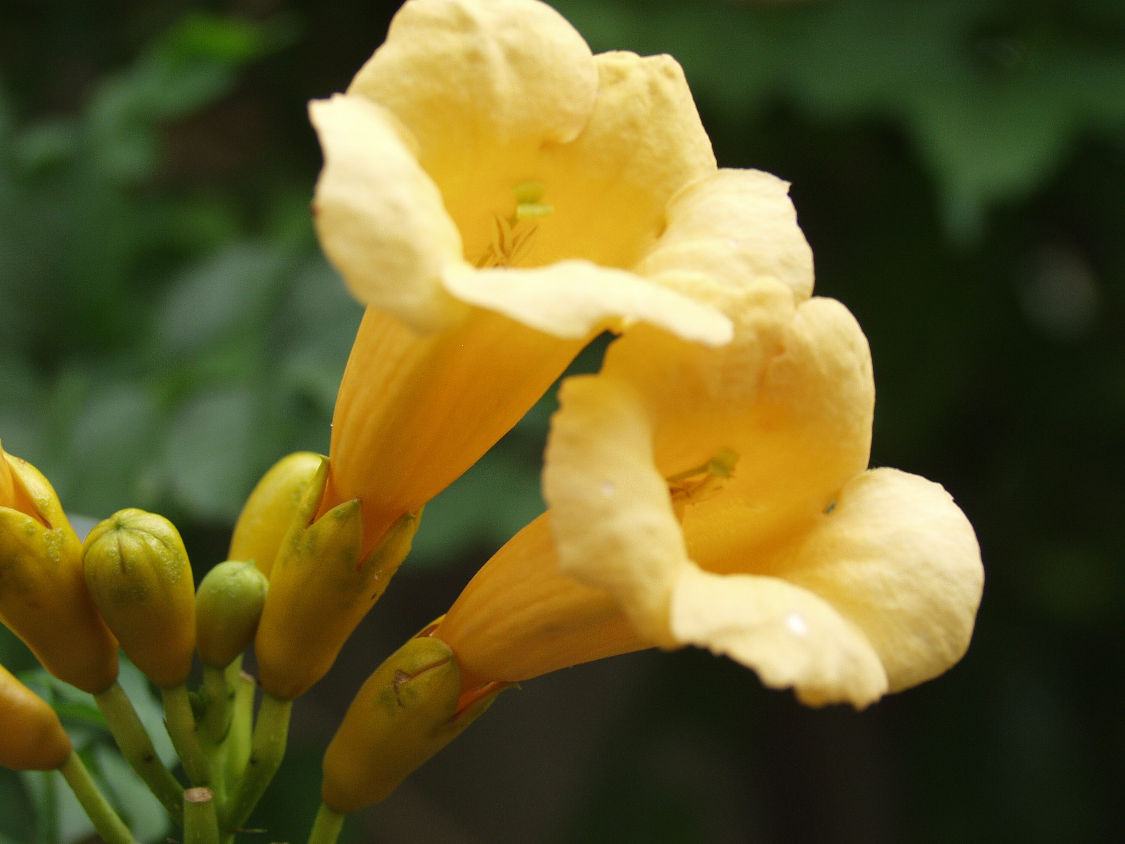 Trumpet Vine Yellow Thetreefarm