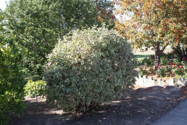 Dogwood, Variegated (Redtwig) - TheTreeFarm.com Variegated Dogwood Tree