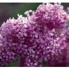 Lilac, Chinese Saugeana