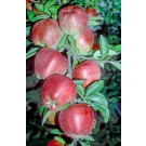"""Photo Courtesy of The National Fruit Collection By National Fruit Collection, <a href=""""https://en.wikipedia.org/wiki/Brogdale"""" class=""""extiw"""" title=""""w:Brogdale"""">Brogdale</a>. - <a rel=""""nofollow"""" class=""""external free"""" href=""""http://www.nationalfruitcollectio"""