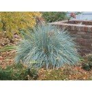 Blue Avena Grass...©photo ArborTanics Inc.