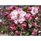 BRANDYWINE PINK FLOWERING CRABAPPLE ©photo ArborTanics Inc.