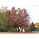Canada Red Cherry-Clump...fall...©photo ArborTanics Inc.