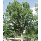 Hackberry ©photo ArborTanics Inc.