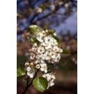 Chaticleer Flowering Pear -Early Spring