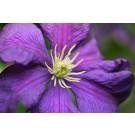 Etoile Violette Clematis...©photo ArborTanics Inc.