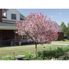 Coralburst Flowering Crabapple ©photo ArborTanics Inc.