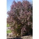 Huron Gray Dogwood Fall Color