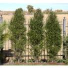 Fine Line® Buckthorn ©photo ArborTanics Inc.