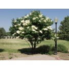 Japanese Tree Lilac ©photo ArborTanics Inc.
