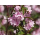Pink Flowering Almond...©photo ArborTanics Inc.