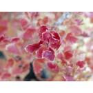 Pixwell Gooseberry...©photo ArborTanics Inc.