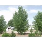 PLAINS STRAIGHT COTTONWOOD -Longmont, Colorado ©photo ArborTanics Inc.