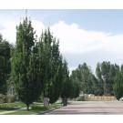 Oak, English Columnar