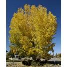 ROBUSTA COTTONWOOD - Fall in Erie, Colorado ©photo ArborTanics Inc.