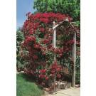 Photo Courtesy of Star® Roses & Plants