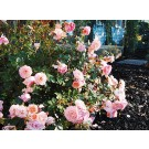 Photo Courtesy of Star® Roses and Plants/Conard-Pyle