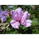 Ardens Rose of Sharon© photo ArborTanics Inc