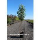 Rainbow Pillar® Serviceberry-Tree Form