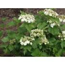 Wentworth American Cranberry Bush Viburnum-spring...©photo ArborTanics Inc.
