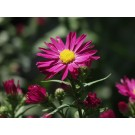 Winston Churchill Aster...©photo ArborTanics Inc.
