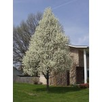 CLEVELAND PEAR -Spring ©photo ArborTanics Inc.