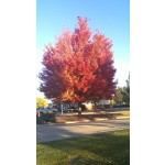 Autumn Blaze Maple ©ArborTanics Inc.
