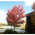 AUTUMN BRILLIANCE SERVICEBERRY ©photo by ArborTanics inc.