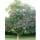 Briotti Red Ruby Horsechestnut