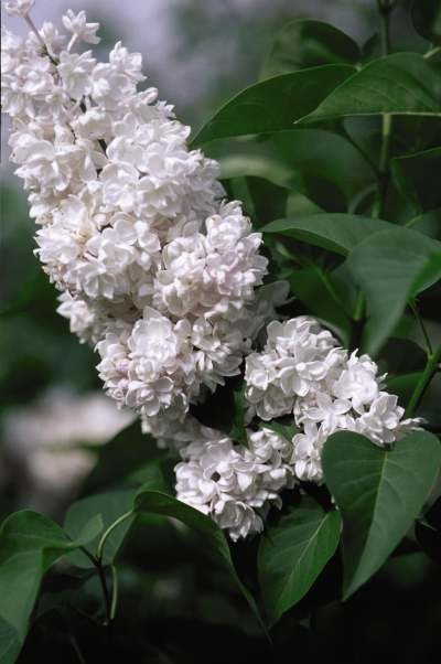 Lilac Beauty Of Moscow Russian Hybrid Thetreefarm Com