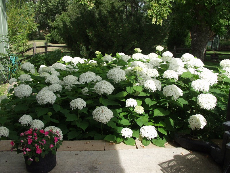 Photo ArborTanics Inc Annabelle Hardy HydrangeaCphoto