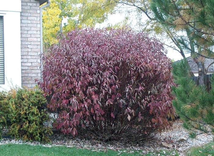 Dogwood bailey 39 s redtwig for Red twig dogwood