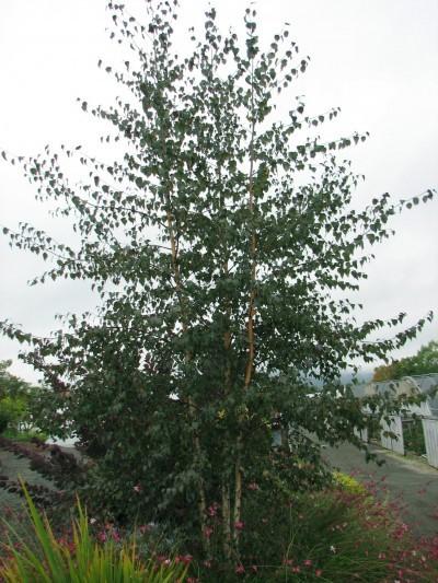 Birch Royal Frost 174 Thetreefarm Com
