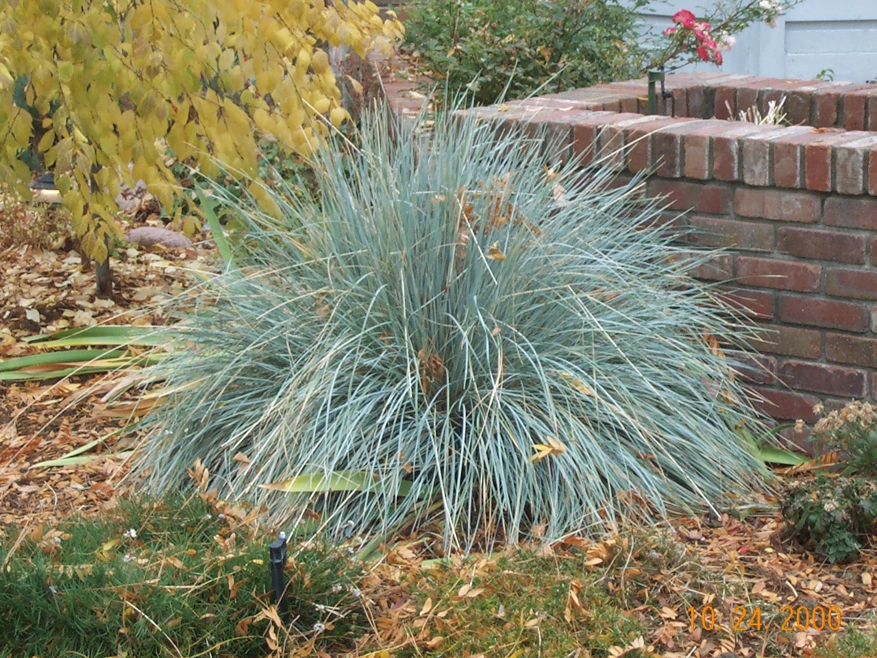 Avena grass blue for Plants and grass