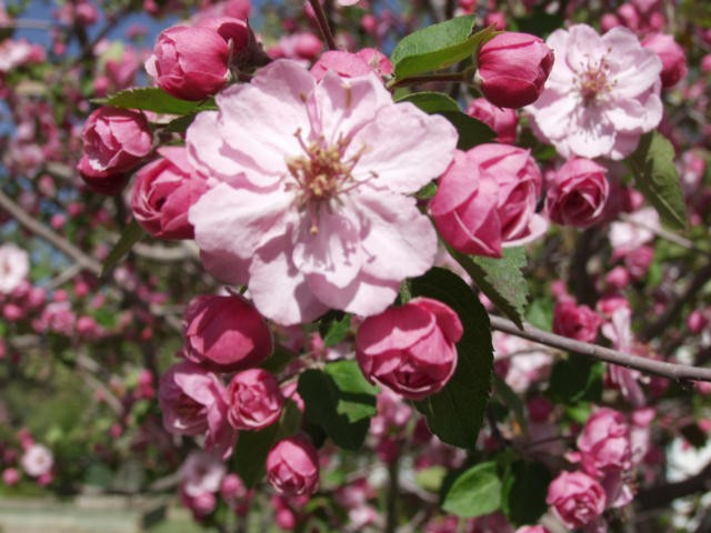 Brandywine crabapple thetreefarm brandywine pink flowering crabapple photo arbortanics inc mightylinksfo
