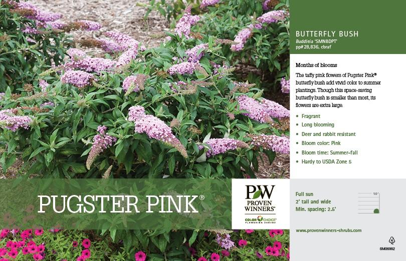 Butterfly Bush Pugster Pink 174 Thetreefarm Com