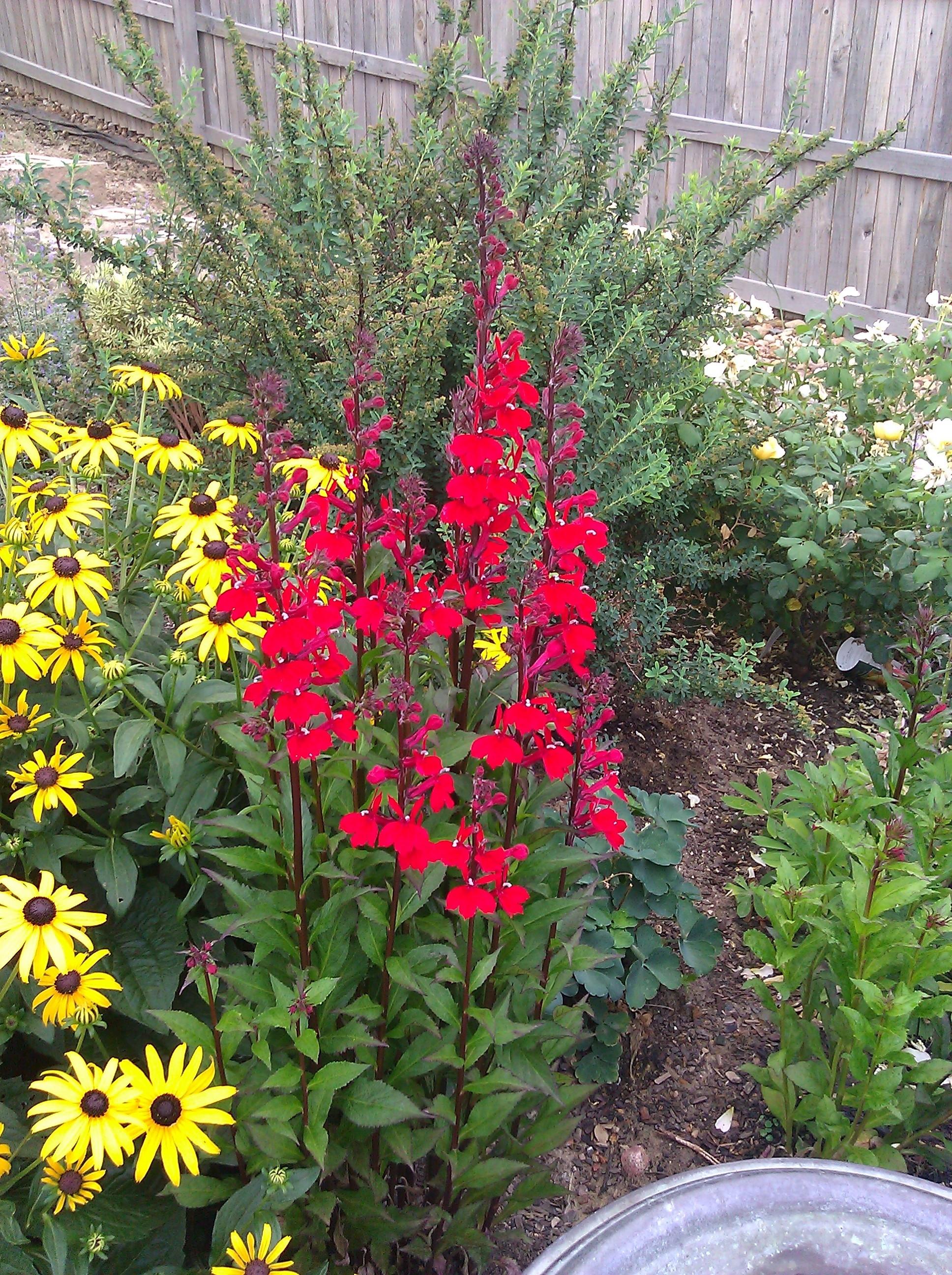 Cardinal Flower Fan Scarlet Perennial Lobelia Thetreefarm