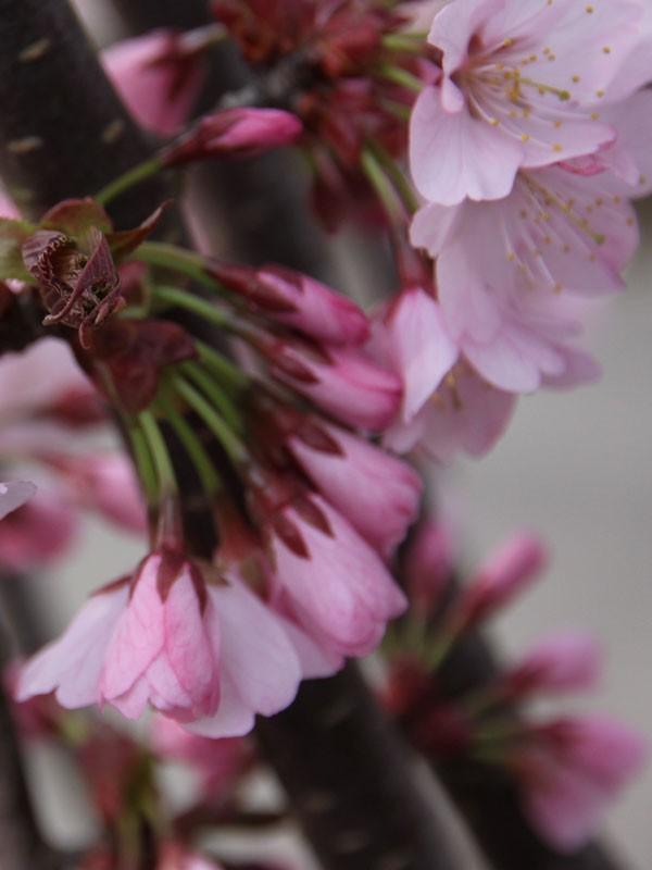 Cherry Pink Flair 174 Flowering Thetreefarm Com