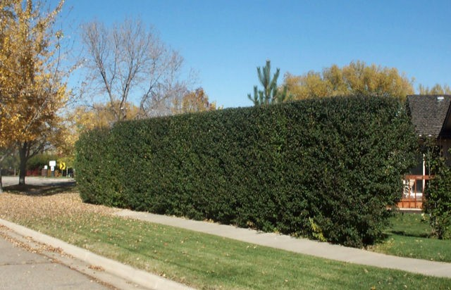 Cheyenne Privet Hedge ©photo ArborTanics Inc.