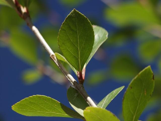 Cockspur Thornless Hawthorne Thetreefarm Com