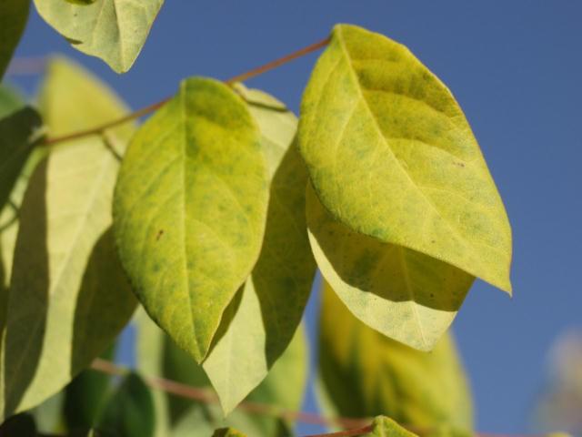 Coffeetree, Kentucky - TheTreeFarm com