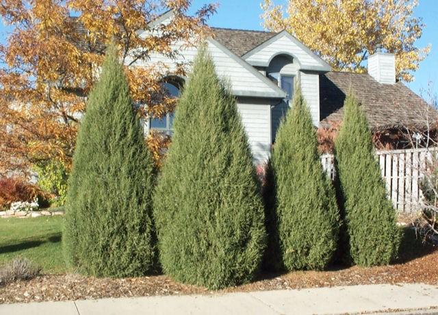 juniper cologreen thetreefarmcom