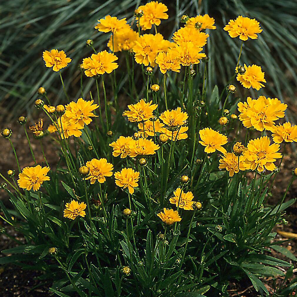 8 Fajta Coreopsis a virágoskerthez