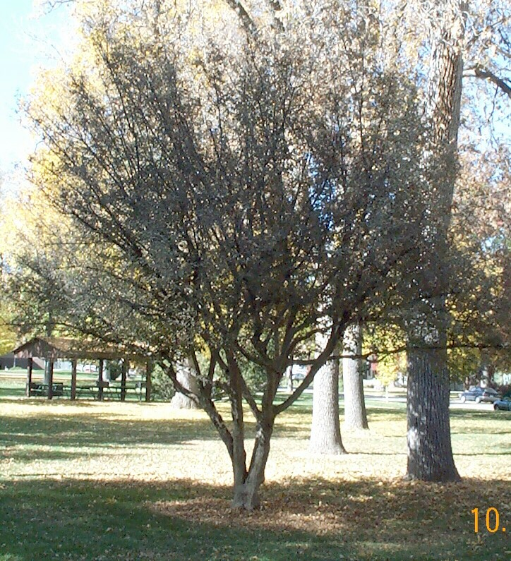 Dogwood Cornelian Cherry Thetreefarm Com