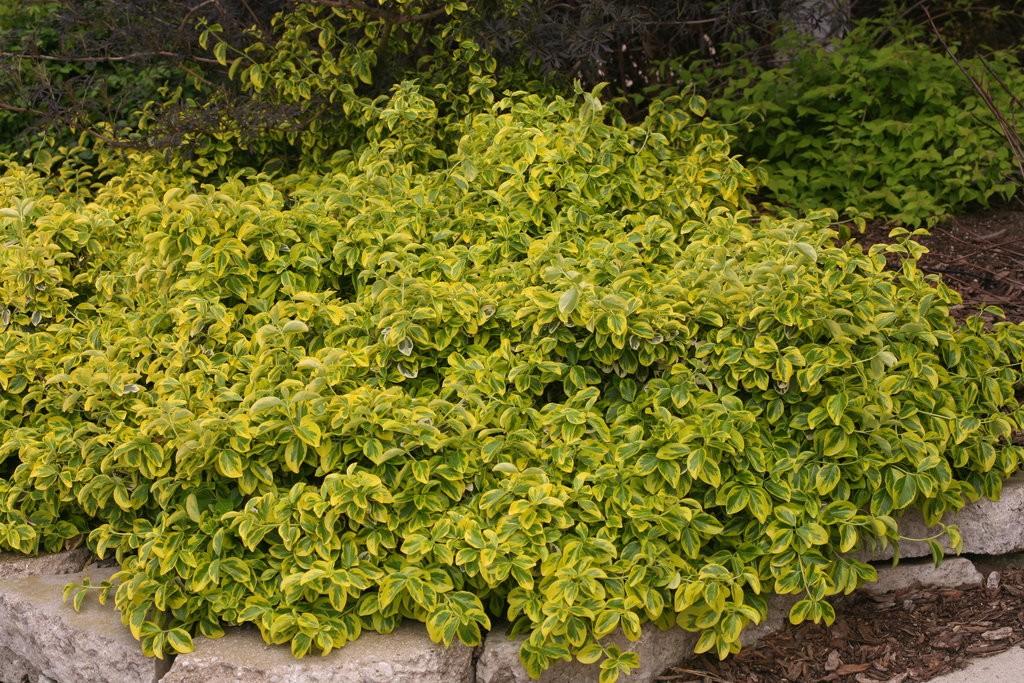 Euonymus Gold Splash 174 Thetreefarm Com